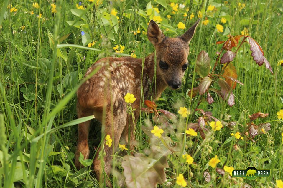 bambi park aran